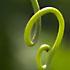 a vine tendril